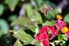 Flying Bee in Latana