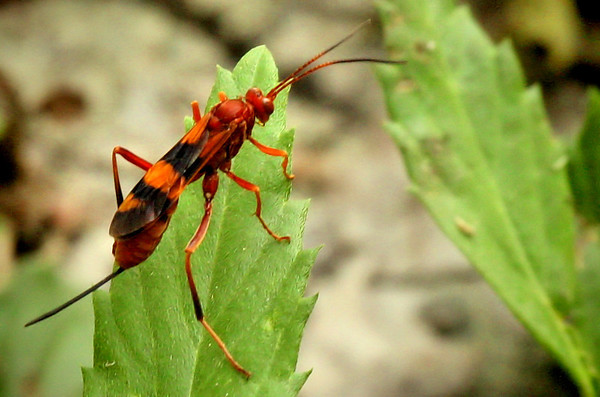 A female ichneumon wasp (Compsocryptus sp.) perched on a leaf (2009_07_26_028013)