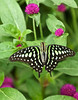 Tailed Jay, Brookside Gardens, Wheaton, Maryland