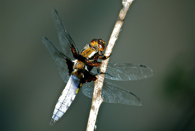 Damselflies and dragonflies and other winged insects near water.