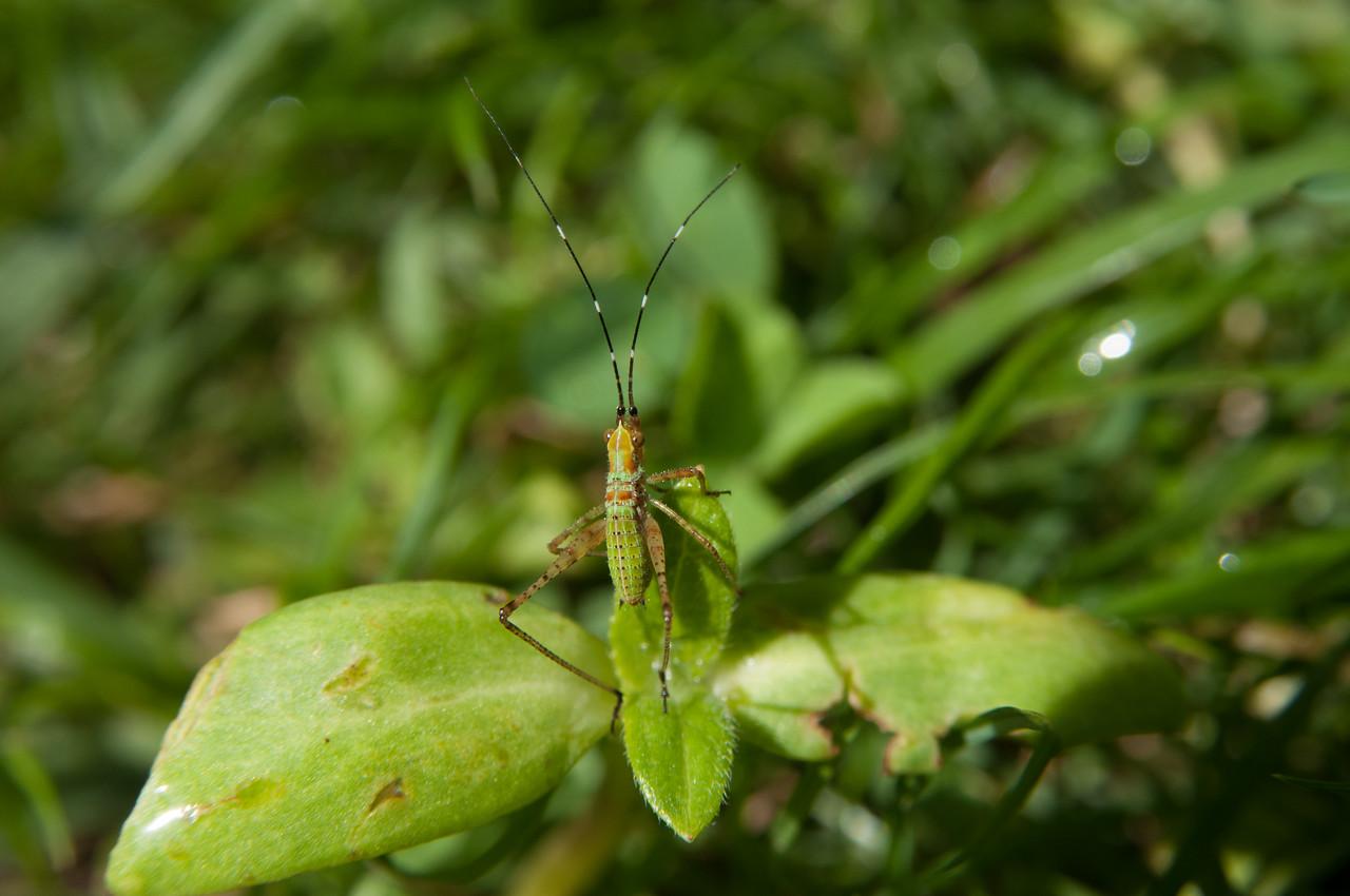 Grasshopper (2)