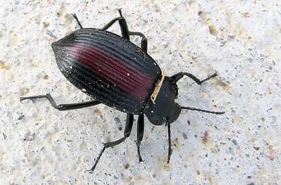 Darkling Beetle (Eupsophulus sp.)