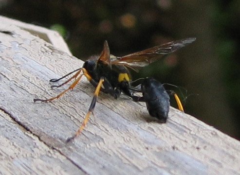 A black and yellow mud dauber (a.k.a. dirt dauber, Sceliphron caementarium) (197_9774)