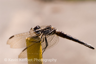 Dragonfly0036a