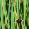 Bathing Widow Skimmer
