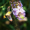 Transparent Wings of a Hummingbird Moth