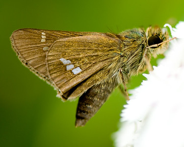 Some species of Skipper (Hesperioidea) shot in Dongping Forest Reserve, Chongming Island, Shanghai, China