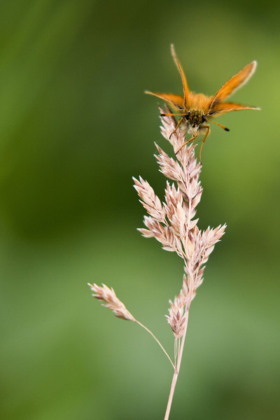 I tracked this orange moth around for several minutes and was fortunate to photograph it on several perches - this one happens to be a stalk of grass, recently gone to seed.