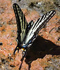 Swallowtail, species unknown
