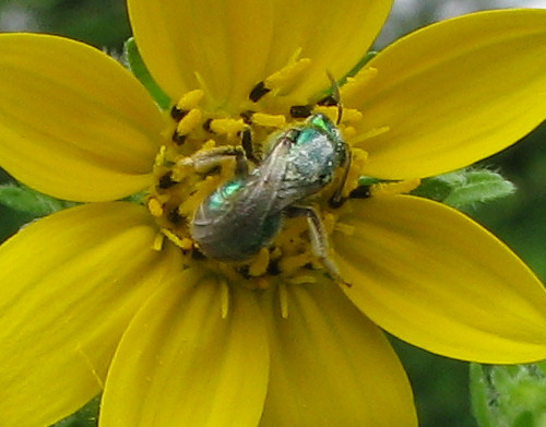 A metallic sweat bee (Augochloropsis metallica) digging around in an Engelmann daisy (Engelmannia pinnatifida) (20080422_04399)