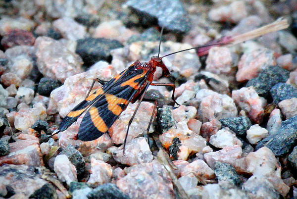 A male scorpionfly (Panorpa nuptialis) standing on gravel (2009_10_18_032492_comp)