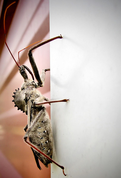 A wheel bug (Arilus cristatus) climbing the outside of a storage shed (20121012_04627)