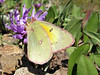 Pink-edged Sulphur (Colias interior)