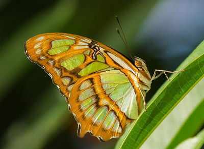 Dido Butterfly