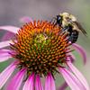 Common Eastern Bumblebee