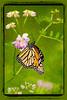 C$Cuchara$Lisa$Monarch_Butterfly_Painterly_Dream$2012-01