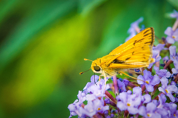 Little Yellow Skipper
