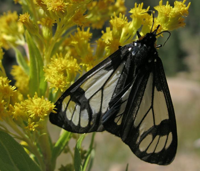 Police Car Moth  (Gnophaela vermiculata)