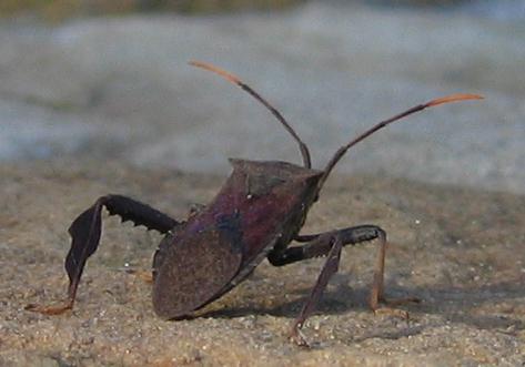 A Giant Agave Bug (Acanthocephala thomasi) (202_0277)