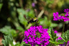 Hummingbird Moth - Clearwing Moth
