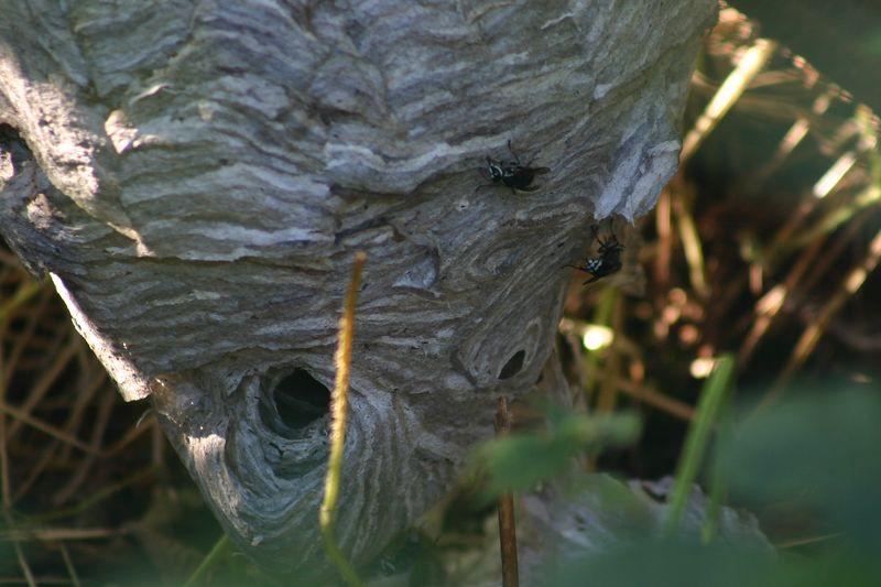 Bald -faced Hornets