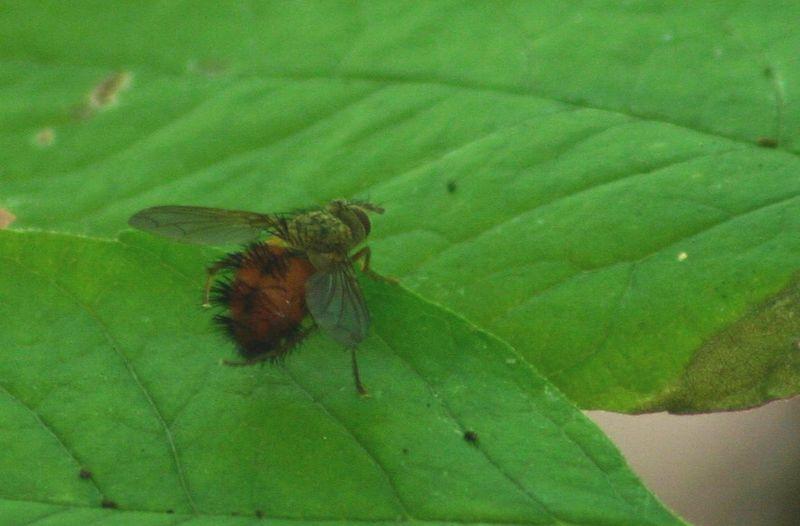 FLY - Hystricia Abrupta