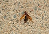 HORNTAIL:Tremex Columba ?