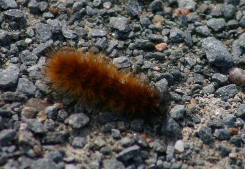 Acrea Moth Caterpillar