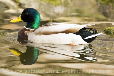 Male Mallard at Titlow Park in Tacoma, Washington.