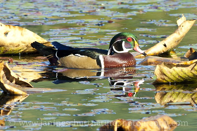 Male Wood Duck in the beaver pond by the McLane Creek Nature Trail, near Olympia, Washington.