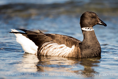 Brant at Fort Flagler State Park near Port Townsend, Washington.