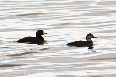 Male and female Black Scoters.  Photo taken at Ediz Hook in Port Angeles, Washington.