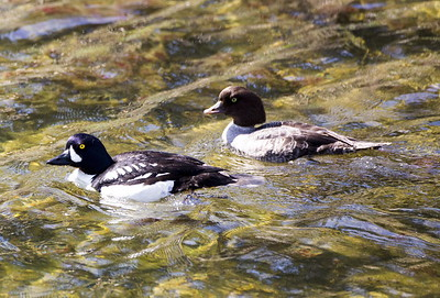 Barrow's Goldeneye pair near Cle Elum, Washington.