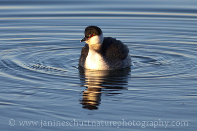 Horned Grebe in non-breeding plumage.  Photo taken in Seabeck, Washington.