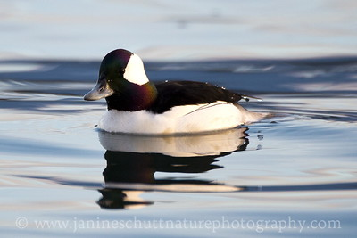 Male Bufflehead at Ediz Hook in Port Angeles, Washington.