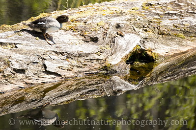 Female Barrow's Goldeneye on a massive log in the pond at the Coldwater Lake Recreation Area of the Mt. St. Helens National Volcanic Monument in Washington.