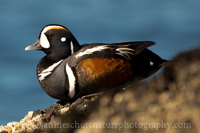 Harlequin Duck on a rock at the Salt Creek Recreation Area near Port Angeles, Washington.  This photo won Honorable Mention in the Wildlife Category of the 2014 Tacoma Nature Center Photo Contest.