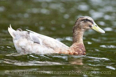 Leucistic male Mallard.  Photo taken while kayaking on Wildcat Lake near Bremerton, Washington.