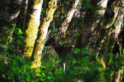 Sitka Black-tailed Deer, Starrigavan Bay, Alaska