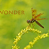 Wonder. Tiny dragonfly on Goldenrod.