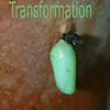 Monarch crysalis. A sign of potential and ultimate transformation.