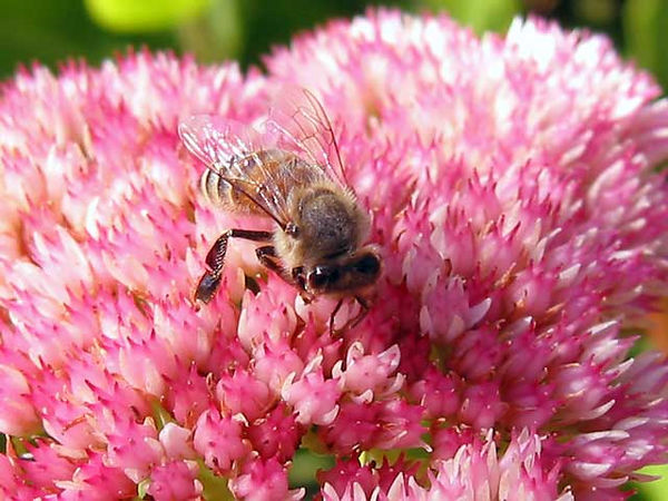 Honey bee on sedum.<br /> Although I have taken a lot of bee photos,<br /> only a few are focused well because they move around<br /> so much faster than my camera can focus.