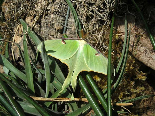 Luna moth.<br /> Taken at Powell Gardens.