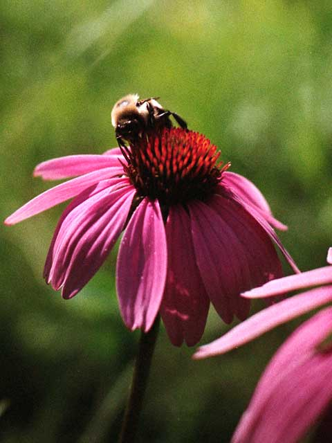 Bumblebee on a purple coneflower.<br /> Scanned from a 35mm negative.