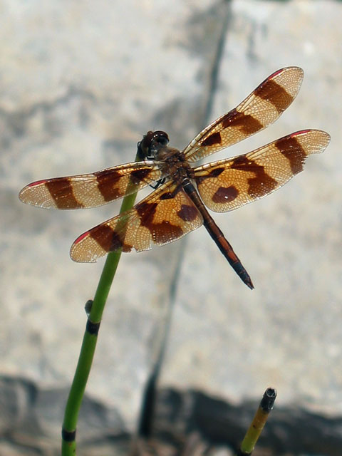 Dragonfly on horsetail reed.<br /> This photo was taken at Powell Gardens island water garden.