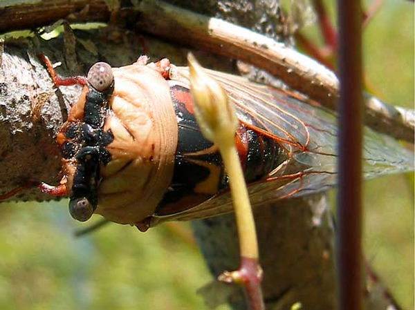 I found this cicada at eye level and was able to get this photo without any effort.<br /> It is resting on a trellis made from willow branches.