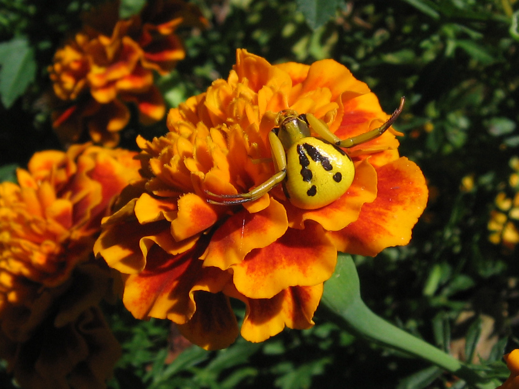 Goldenrod spider.<br /> Yellow crab spider on orange marigold.