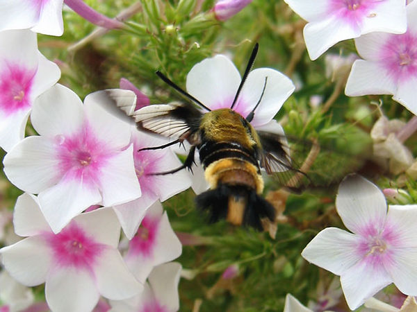 Hummingbird Clearwing -<br /> showing the clear wing panels that give it it's name.<br /> The flower is a tall garden phlox.