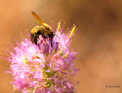 Bumblebee on a flower at Pawnee National Grasslands.