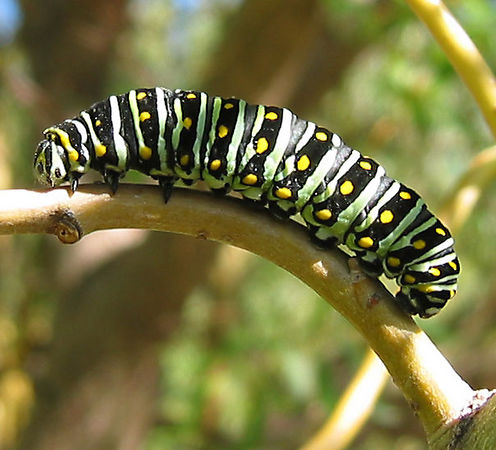 A wonderful black swallowtail caterpillar in the willow tree.